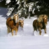 konjovi